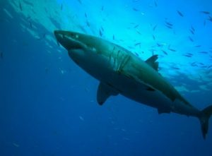 Great White Shark Diving with Nautilus Belle Amie